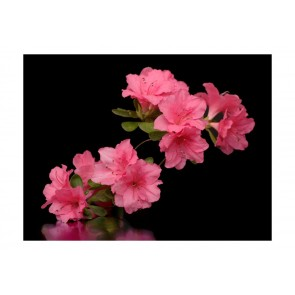 Fotomurale - Azalea in Black