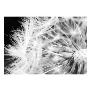 Fotomurale - Black and white dandelion